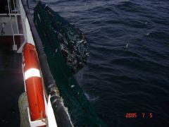 N.Sea Haddies 2of5