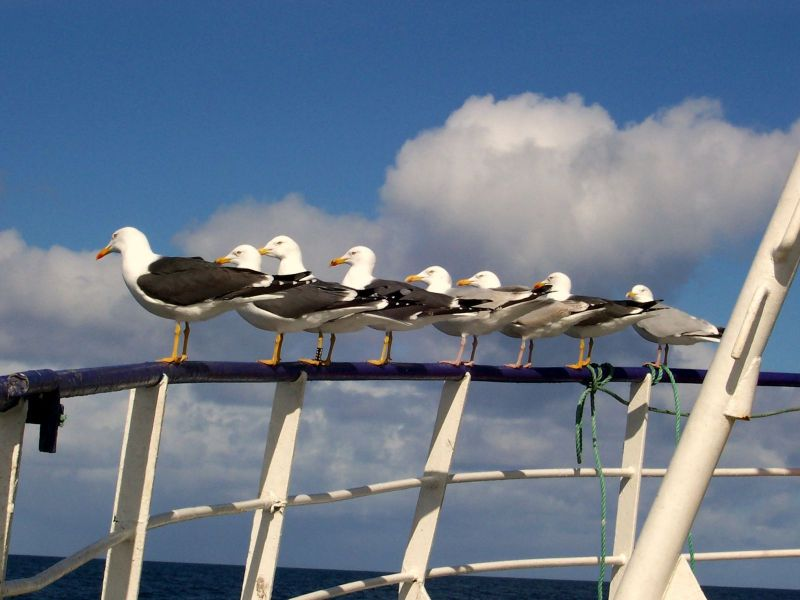 Gulls on the rail waiting to haul.