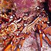 Spiney back lobster