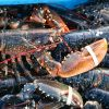 Lobsters Seahouses