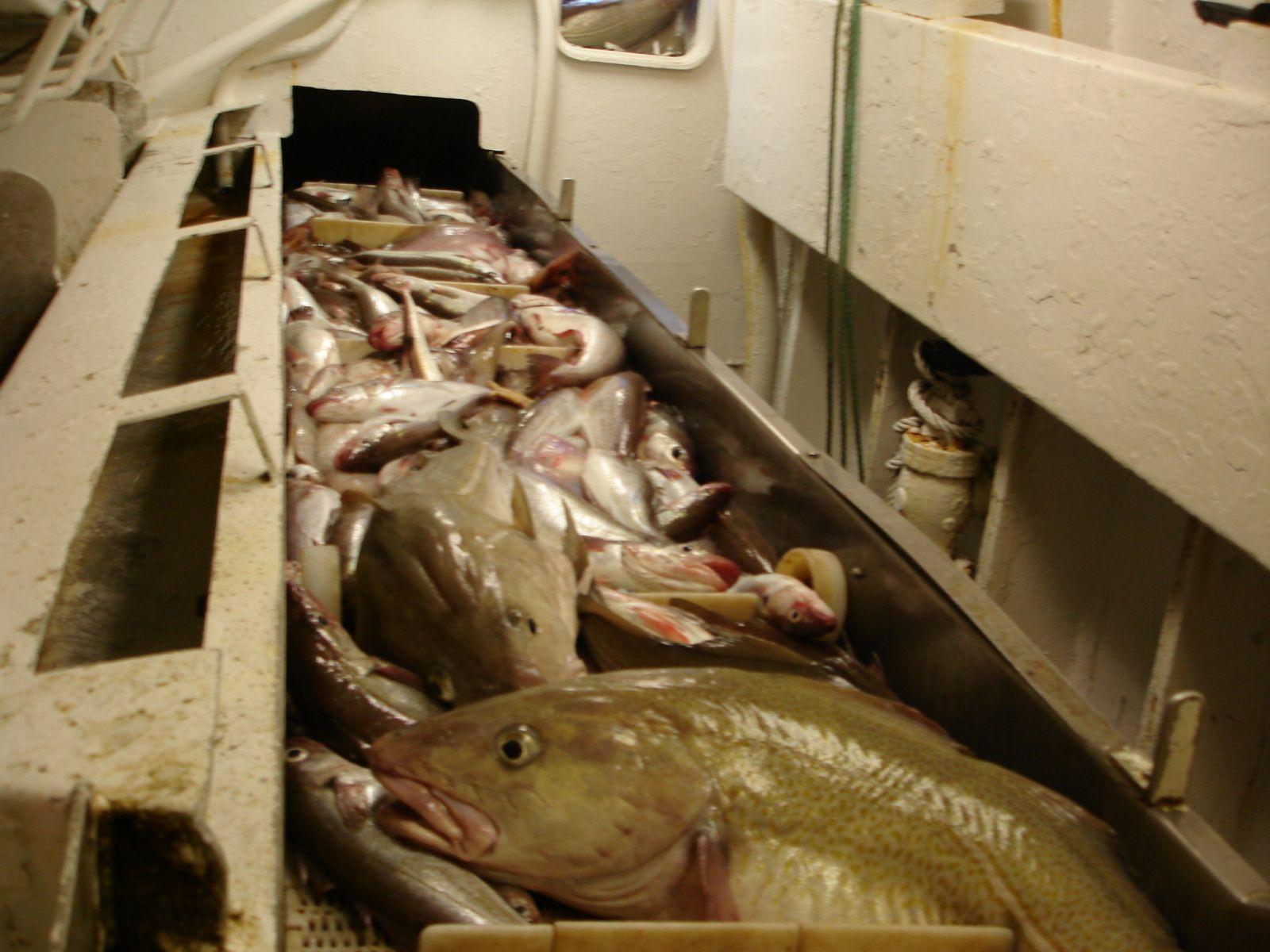 New Year Trip- Belt of fish