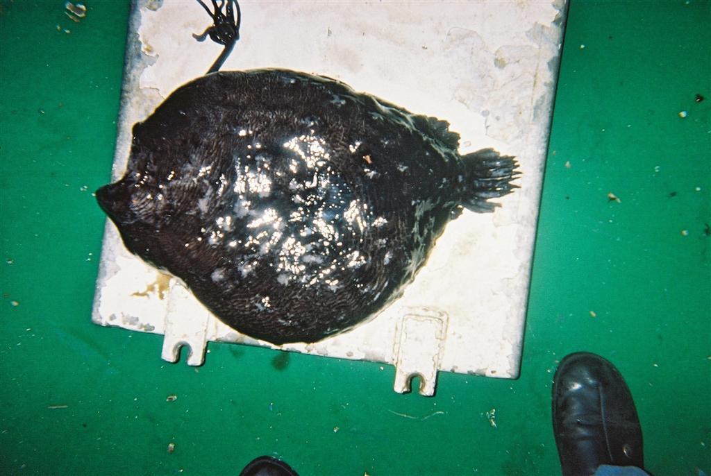 Atlantic Football Fish (Himantolophus groenlandicus) - The ...