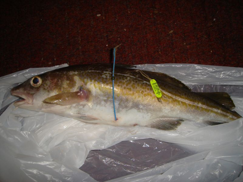 Tagged codling