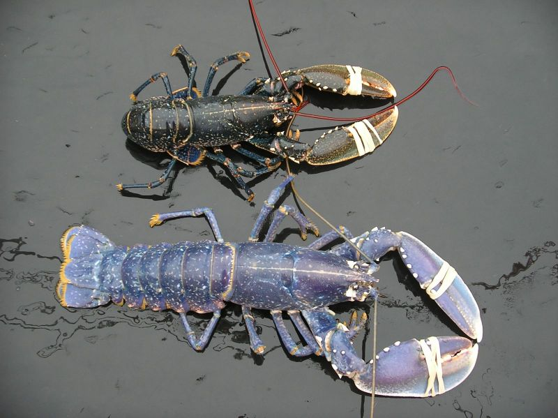 Different colour Lobster