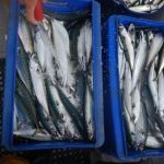 Mackerel caught on the Bajin BA 777